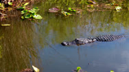 Stock Video Footage of Alligator in Florida