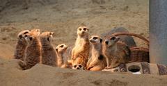 Group of Meerkats - stock photo