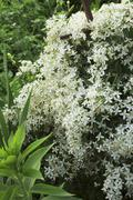 plant clematis  blooms with white flowers - stock photo
