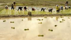 Farmers transplanting rice seedlings in paddy Stock Footage