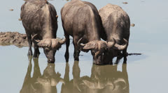 Buffaloes Stock Footage