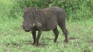 Stock Video Footage of Grazing warthog