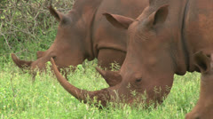 White rhinoceros family Stock Footage
