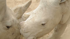 Baby rhino 2 Stock Footage