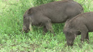 Stock Video Footage of Grazing warthogs