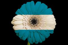 Stock Illustration of gerbera daisy flower in colors  national flag of el salvador    on black back