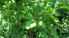 Stock Video Footage of apple tree in afternoon presentation