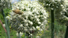 Bee pollinating onion flowers in the breeze Stock Footage