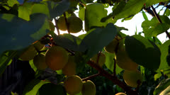 branch full of apricots in the breeze - stock footage
