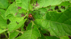 colorado beetle very close up on potato leaves in the breeze - stock footage