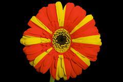 Stock Illustration of gerbera daisy flower in colors  national flag of macedonia    on black backgr