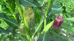 corn plant zoom in - stock footage
