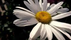 Daisy flower close up shot at sunrise Stock Footage