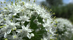 Onion flower close up in the breeze Stock Footage