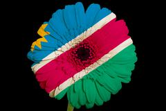 gerbera daisy flower in colors  national flag of namibia    on black backgrou - stock illustration