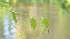 Leafy branch and river Stock Footage