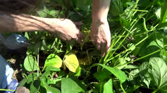 person picking green beans - stock footage