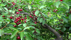 Presentation cherry branch Stock Footage