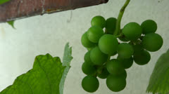 very close up bunch of grapes in the breeze - stock footage