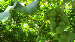 Vine canopy presentation Stock Footage
