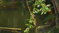 Squirrel monkey [Saimiri sciureus] Stock Footage