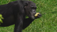 Stock Video Footage of chimpanzee in a zoo