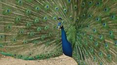 Male peafowl Stock Footage