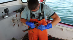 Lobsterman Puts Bands on a Lobsters Claws, Then Inspects Lobster, Maine Stock Footage