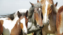 Family of wild horses - stock footage