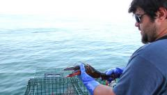 Lobsterman Pulls Lobster From Trap, Inspects it, Keeps it, Maine Stock Footage