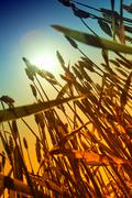 Stock Photo of gold wheat field