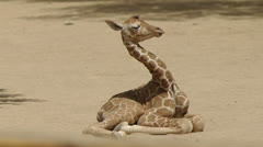 Sleepy giraffe 3 Stock Footage