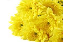 Yellow chrysanthemum with white background Stock Photos