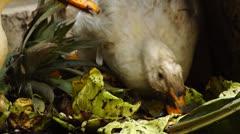 swallowing White Peking Duck - stock footage