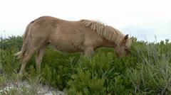 Assateague's Wild Horses 2 Stock Footage