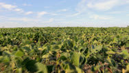 Stock Video Footage of HD Stock Footage - Soy Bean Field, blue Sky, clouds