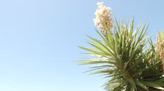 Mojave yucca plant in the desert sun with blue sky background Stock Footage