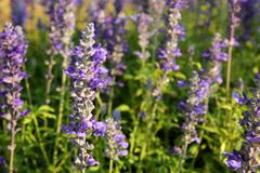 Lavender in evening Stock Photos