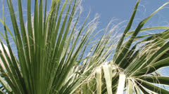 Palmettos blowing in wind with blue sky Stock Footage