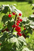 Stock Photo of tasty red currants