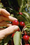 tasty ripe cherries - stock photo