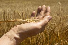 wheat ears in the hand. - stock photo