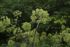 giant allium plants - stock photo