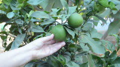 Green oranges on branch Stock Footage