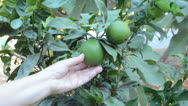 Stock Video Footage of Fresh green oranges on tree