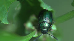 Shiny green beetle Stock Footage