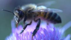 Extreme close up from a bee flying away Stock Footage