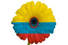 gerbera daisy flower in colors national flag of columbia   on white backgroun - stock illustration