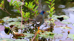 Purple Gallinule Stock Footage