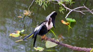 Stock Video Footage of American Anhinga